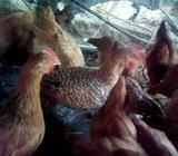 Pollos de Color Y de Engorde