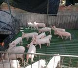 Cerdos de Genética 65 77411372