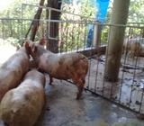 5 Cerdos para Destazar
