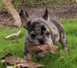 Bulldog Frances con Registro