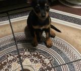 Vendo Chihuahua de 2 Meses