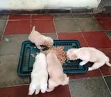 Vendo 3 Cachorritos Maltés 50