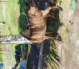 Vendo Cabras Cabrito y Cabro