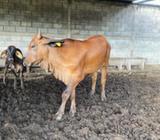Se Vende Vaca