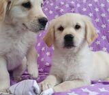 bonita Cachorros Golden Retriever machos y hembras a la venta,