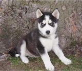 dulce venta de cachorros husky siberiano.